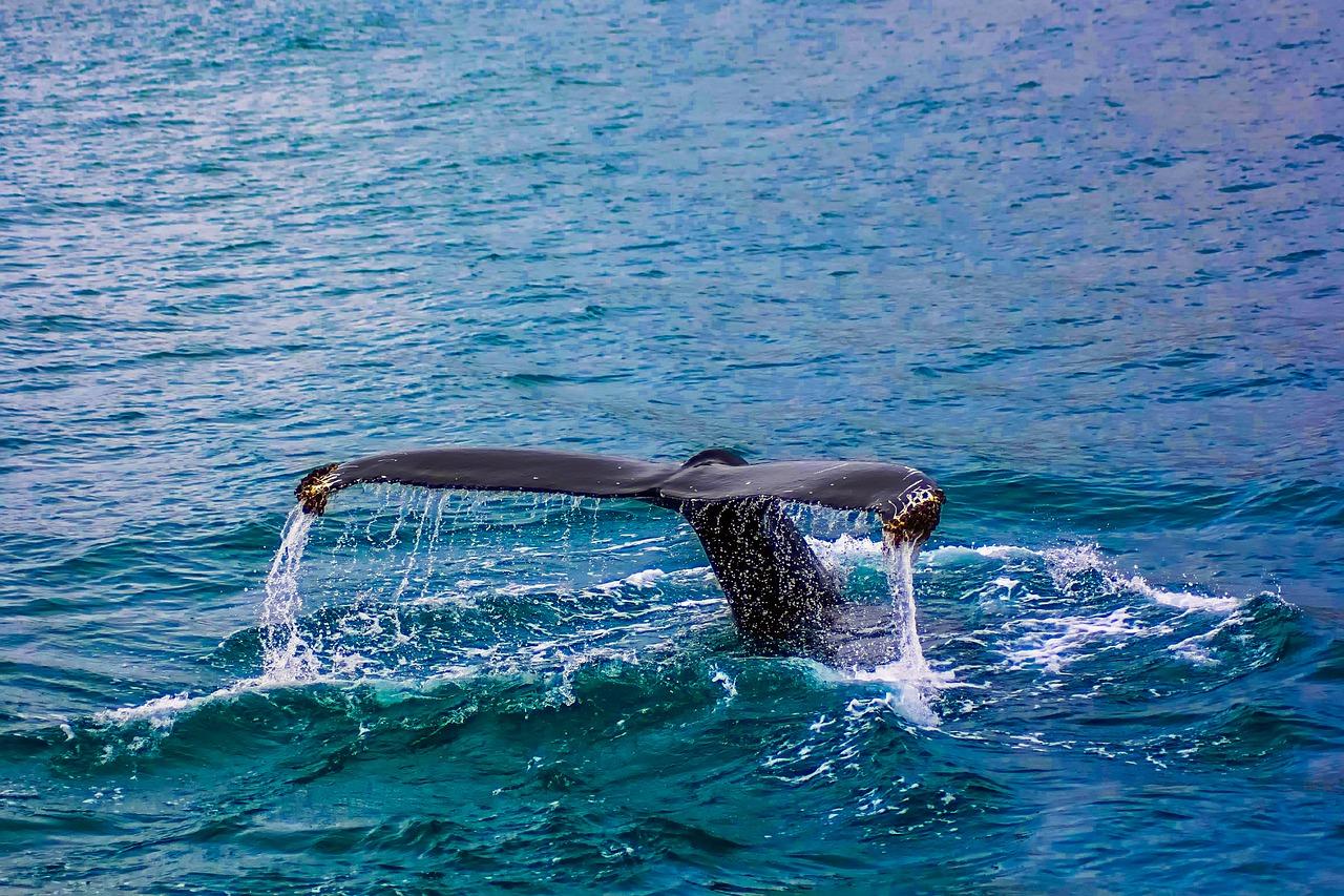 Płetwal błękitny 1:1 Nie bój się. Płetwal błękitny oko w oko nie przeraża. Jest duży, ale je tylko kryl. Przeważnie.